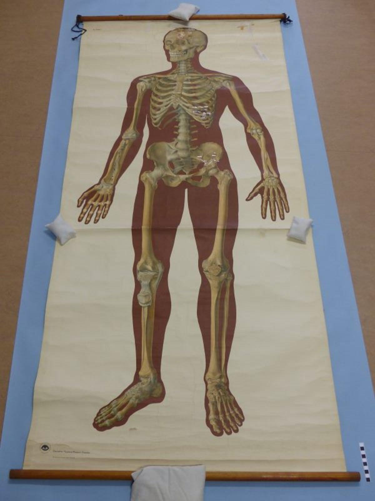 Das Skelett des Menschen mit Bandapparat :: Mindener Museum ...