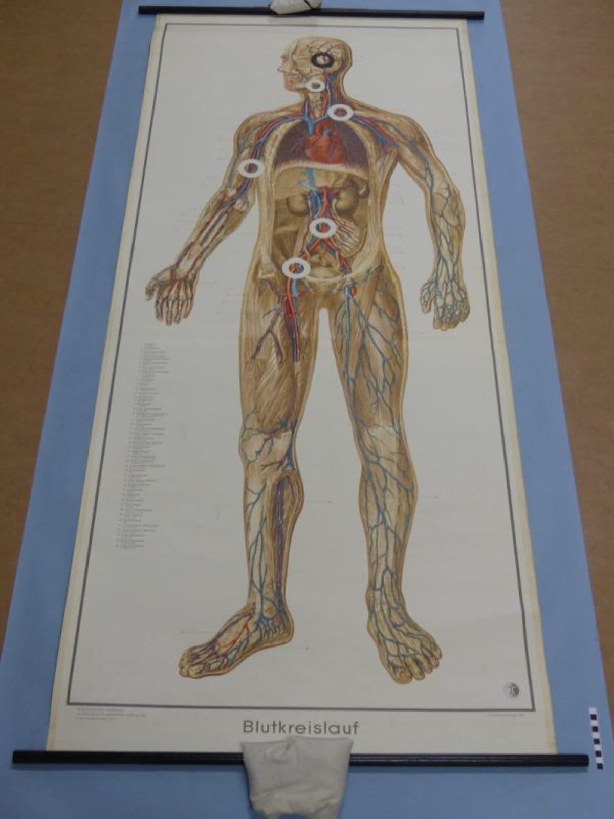 Blutkreislauf mit Abdruckstellen :: Mindener Museum :: museum ...